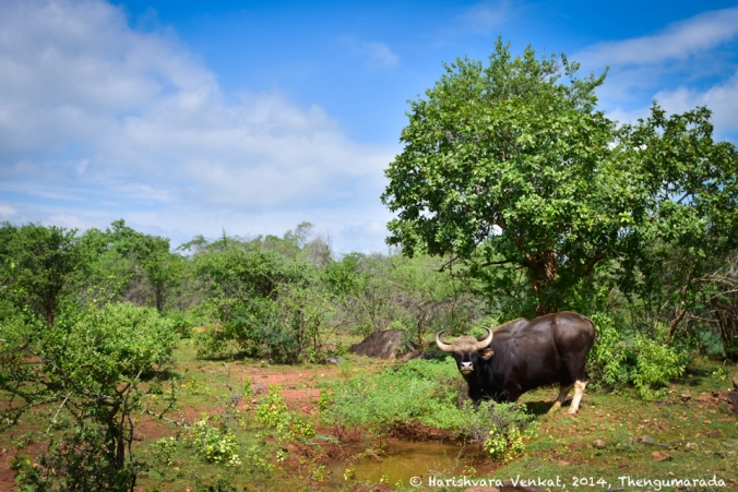 Gaur at Thengumarada, shot at 35mm